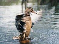 Опудало качки на полюванні