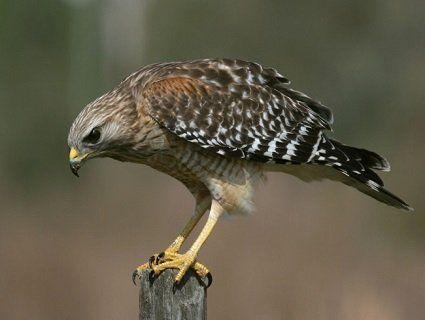 Якого птаха обрати для полювання?