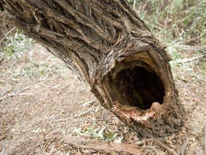 В Естонії п'яний чоловік застряг у дуплі дерева