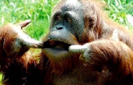 Виявлено новий вид людиноподібних мавп