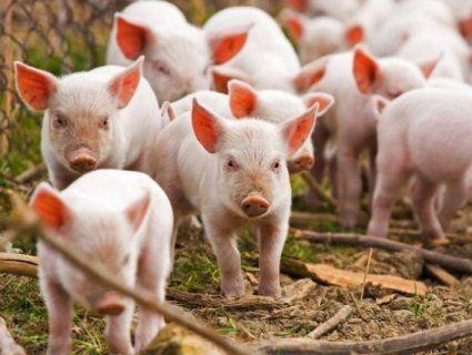 В українських селах продовжили карантин через чуму свиней