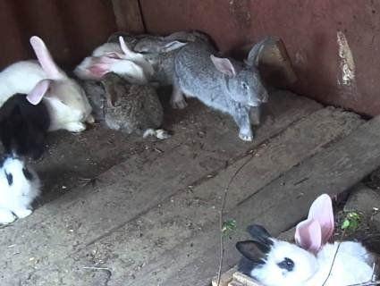 На Волині невідома тварина подушила кроликів