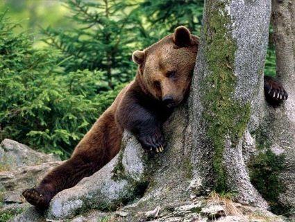 Ведмідь украв у мисливця дві рушниці і втік