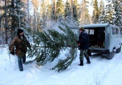 На Волині лісівник отримав хабар за 120 незаконно зрубаних сосен