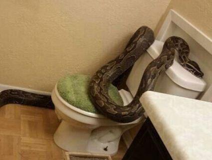 Гігантського пітона чоловік знайшов у власному туалеті