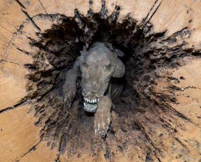 Лісоруби знайшли в дереві мумію собаки, який застряг там 60 років тому (фото)
