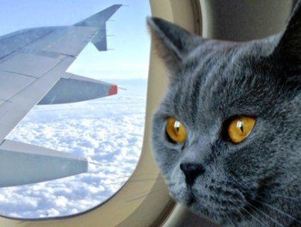 Зібралися в аеропорт? Переконайтеся, що там працює кіт!