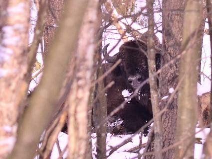 Рідкісного зубра закликають врятувати волинські лісівники