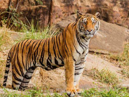 Після того як відкрили заповідник з тиграми, вони загризли 22 людини (фото 18+)