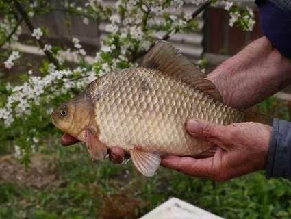 На декілька тижнів заборонено вилов риби