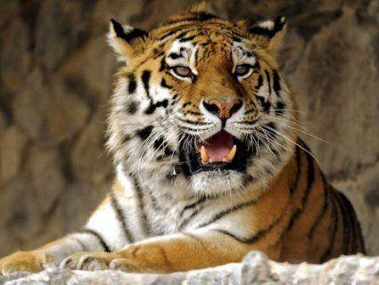 Тигри знову нападають на людей