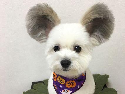 Щеня з вухами Міккі Мауса підкорює Мережу