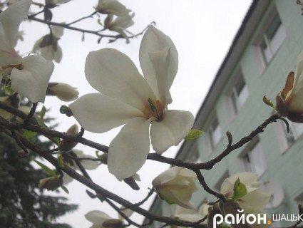 Магнолія зацвіла на півночі України (фото)