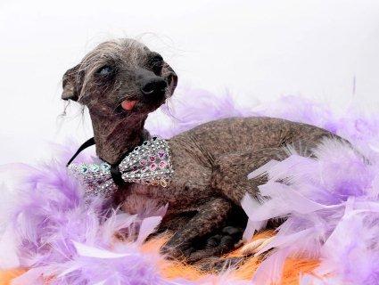 Найпотворніший собака Великої Британії став моделлю