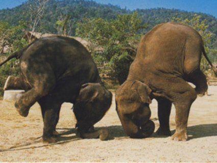 Кумедне відео, як слон займається йогою