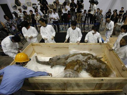 Мамонта хочуть «воскресити» завдяки знайденим у Сибіру ДНК