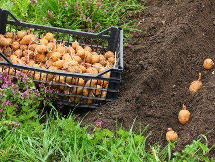 Садиш картоплю - витримуй дистанцію