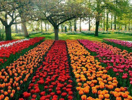 Україна купається в тюльпанах (фото)