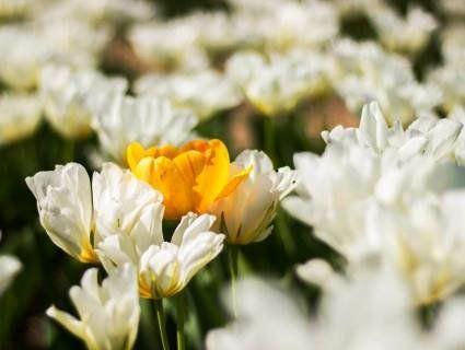 Поспішайте, бо тюльпани з Волинської Голландії зріжуть 4 травня (фото)