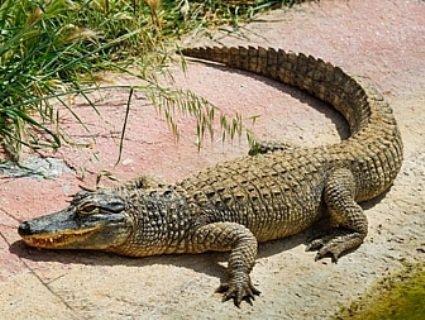 На Одещині з вікна випав... крокодил