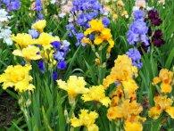У Львові цвітуть іриси (фото)