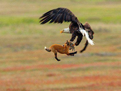 Фотограф відзняв епічну битву за кроля між лисом і орланом (фото)