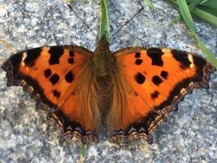 Киян через спеку атакують метелики (фото, відео)