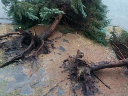 У Луцьку гроза повиривала дерева з корінням (фото)
