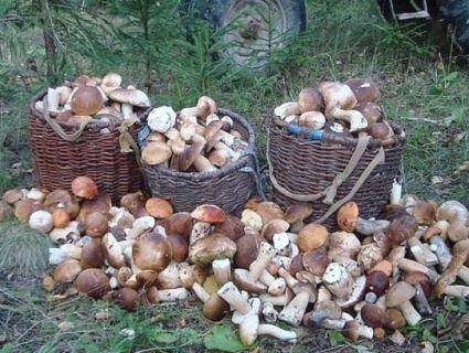 Де в Україні росте найбільше грибів