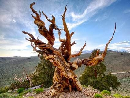 Тисячолітні дерева планети