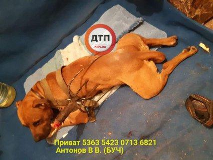 На Київщині всім миром рятують пса, якого «домушник» прохромив вилами