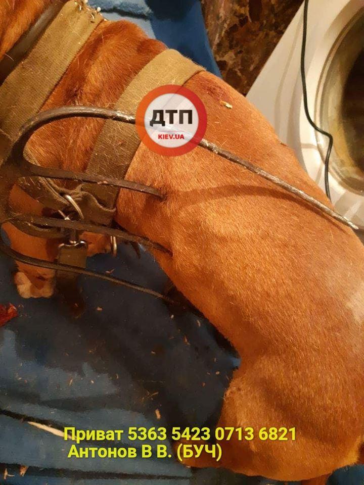 На Київщині всім миром рятують пса, якого «домушник» простромив вилами, фото-1