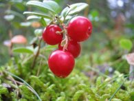 Журавлина: найкорисніша ягода для тиску