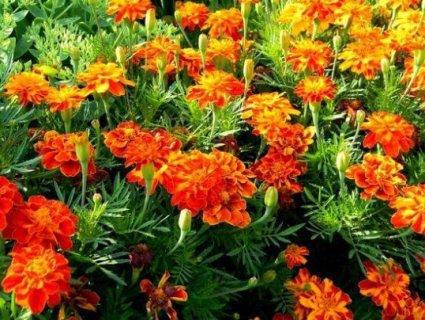Чорнобривці: золота квітка з цілющими властивостями