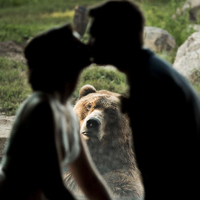 Бурий ведмідь