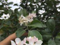 Природні аномалії Волині: восени цвіте бузок та другий раз на рік плодоносить яблуня (фото)