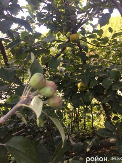 На Волині цвітуть яблуні