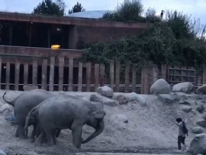 Відео, як слони виганяють із вольєра непроханого гостя, стало вірусним