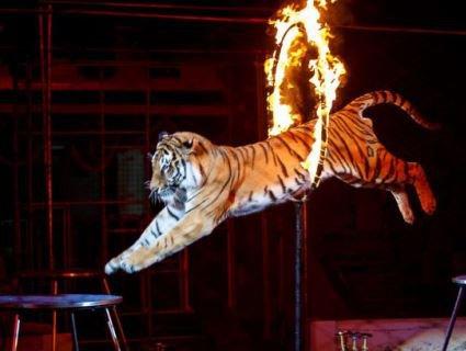 У цирку тигр втратив свідомість, а неадекватна публіка аплодувала (відео)