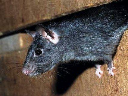 Гризуни атакують: пацюк загриз трирічну дитину (фото, відео)
