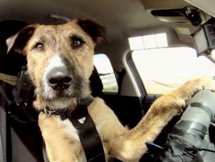 Пес-водій, який вправно кермує авто, приголомшив Мережу (відео)