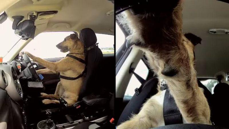 Собака водій фото 1