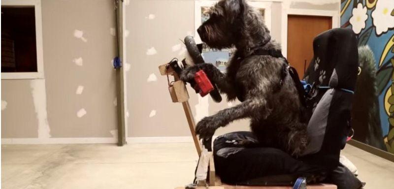 Собака водій фото 2