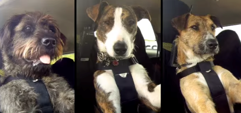 Собака водій фото 3