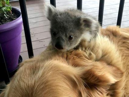 Собаче серце: ретривер зігрів крихітну коалу і розчулив Мережу (фото)