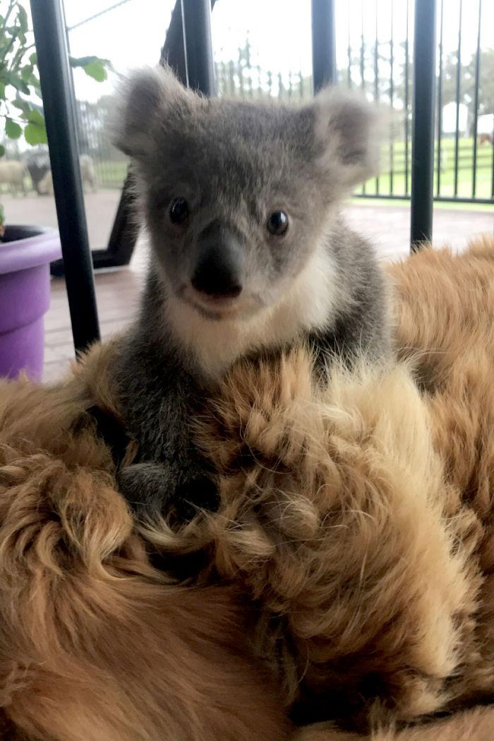 дитинча коали