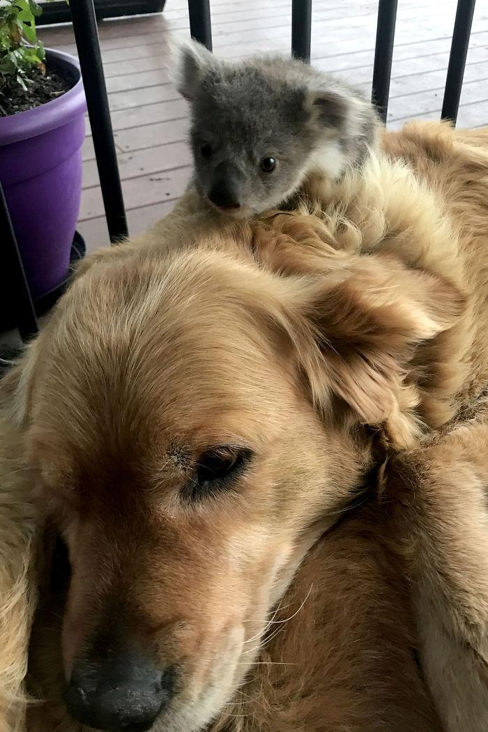 собака і коала