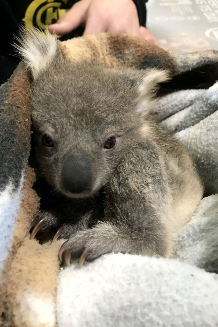 малюк коали