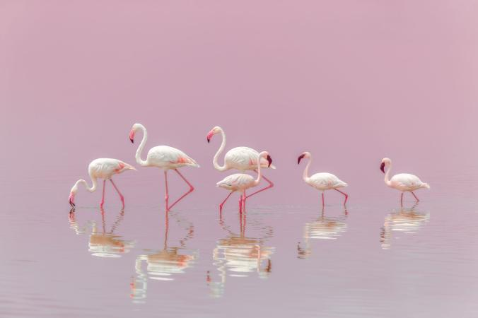 National Geographic - Великі і маленькі фламінго відпочивають на мілководді