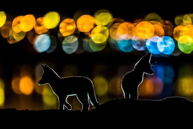 National Geographic - Контури двох арабських рудих лисиць